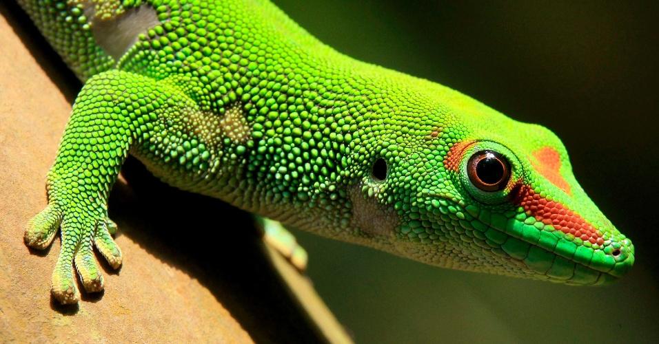 19.mar.2013 - Lagarto do Madagascar descansa em zoológico de Zurique, na Suiça