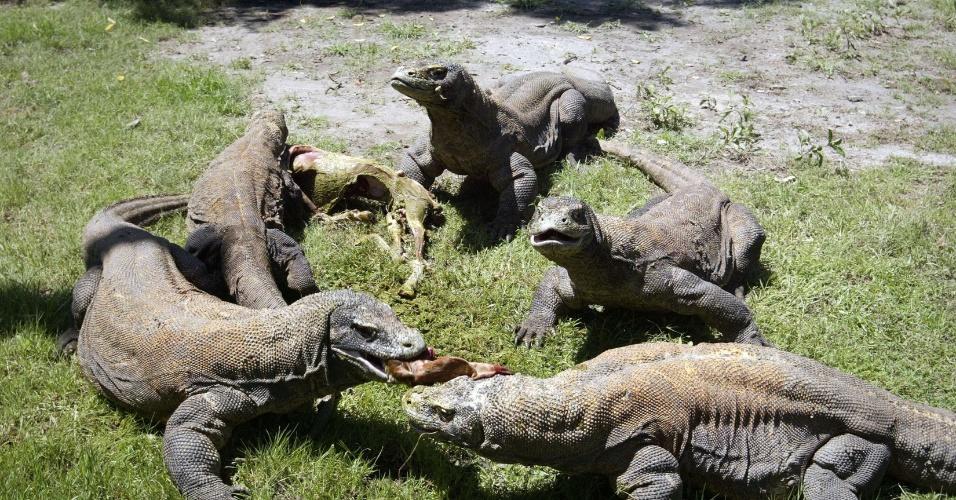 20.mar.2013 - Grupo de draões de komodo comem no zoológico da cidade de Surabaya, na Indonésia. O local promove cruzamentos numa tentativa de aumentar a população do animal, que está ameaçado de extinção