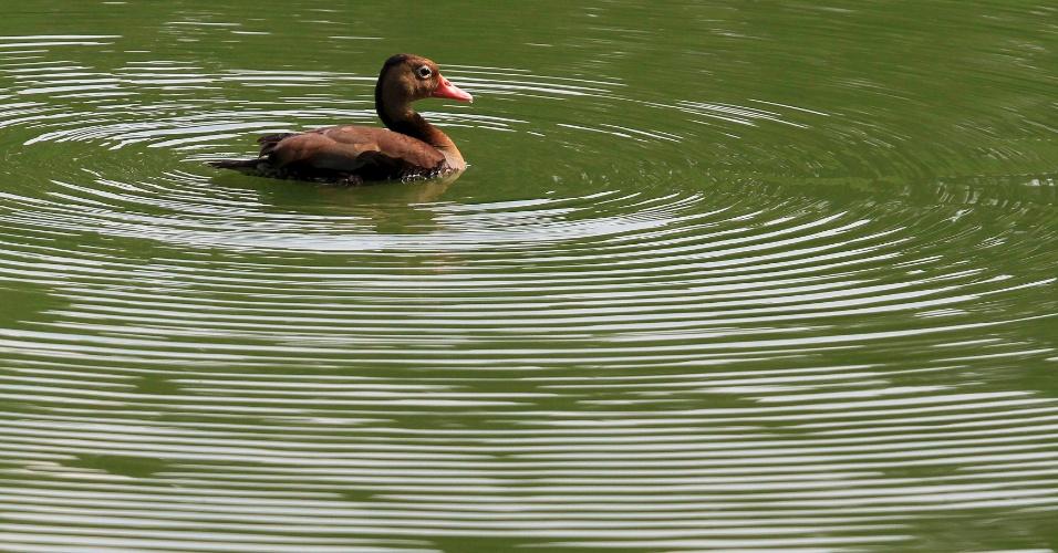 20.mar.2013 - Pato nada em lago de Santigao de Cáli, na Colômbia