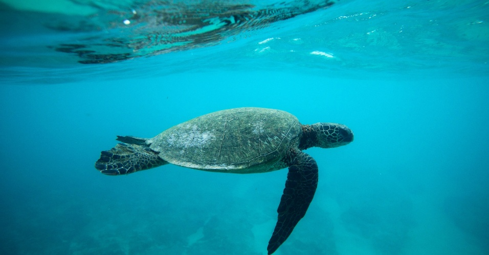 20.mar.2013 - Tartura Verde nada sobre recife na costa norte de Oahu, Havaí, nos Estados Unidos