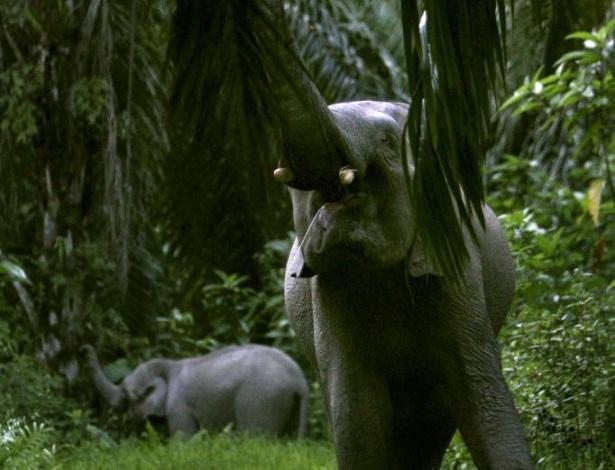 21.mar.2013 - Dois elefantes selvagens se alimentam de frutos em floresta próxima a plantação de palmeiras em East Aceh, em Sumatra, em março de 2013
