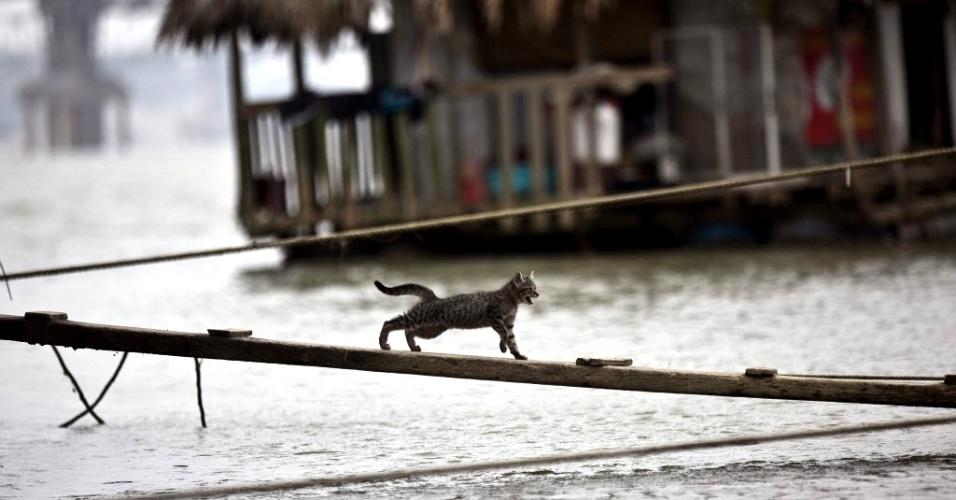 21.mar.2013 - Gato corre em pedaço de madeira sobre um rio em Hanói (Vietnã)