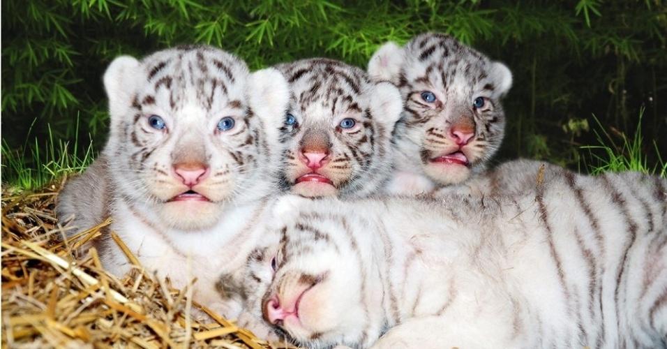 21.mar.2013 - Quatro tigres de bengala nasceram nesta quinta-feira (21) no zoológico de Buenos Aires, Argentina, pesando cerca de um quilo cada