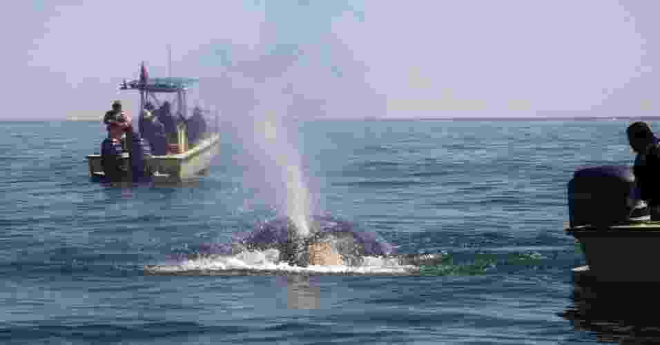 25.mar.2013 - Baleia-cinzenta nada no litoral da Baixa Califórnia do Sul, Estado do México, considerado um refúgio para a espécie em extinção. Com a chegada do inverno, a espécie começa uma peregrinação de mais de 10 mil quilômetros ainda nos distantes mares asiáticos de Bering e Chukchi - estima-se que todas as baleias-cinzentas do Pacífico Norte ocidental se reproduzam e nasçam no México - Claudia Munaiz/Efe