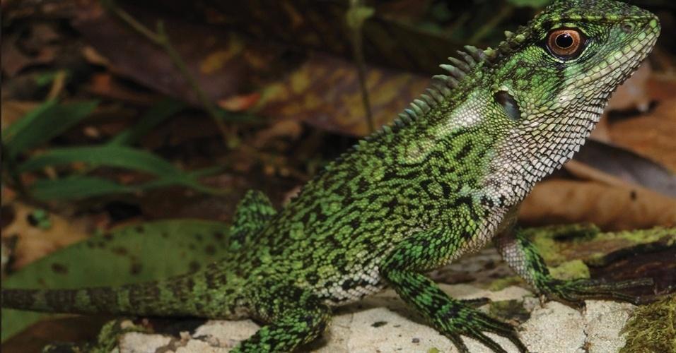 """25.mar.2013 - Cientistas encontraram duas novas espécies de lagartos pertencentes ao gênero """"Enyalioides"""" na região da bacia do rio Huallaga, dentro do Parque Nacional Cordilheira Azul, que integra a floresta Amazônia no nordeste do Peru. Os novos lagartos foram nomeados de """"Enyalioides binzayedi"""" em homenagem ao sheik Mohamed Bin Zayed Al Nahyan, dos Emirados Árabes Unidos, um dos financiadores da expedição"""