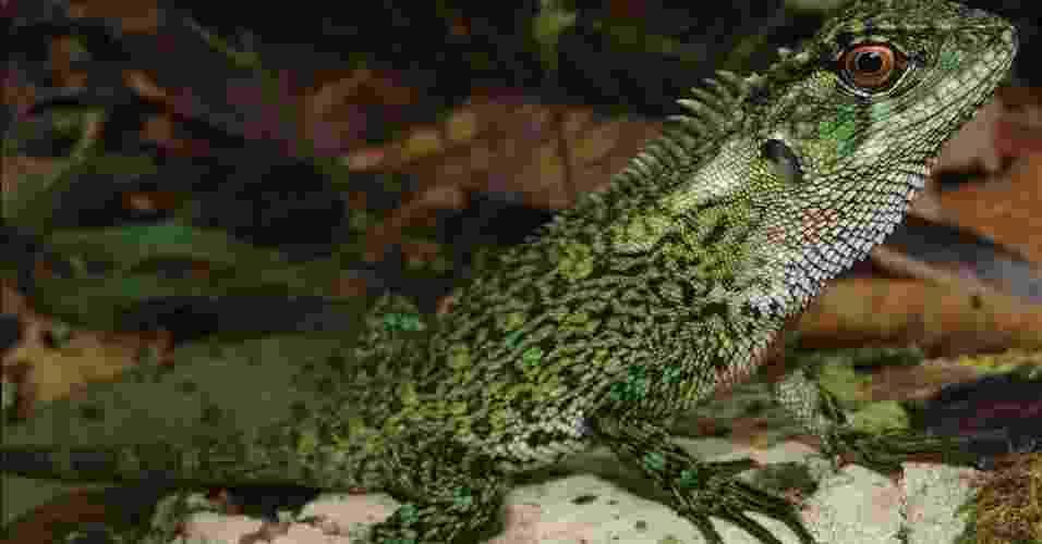 """25.mar.2013 - Cientistas encontraram duas novas espécies de lagartos pertencentes ao gênero """"Enyalioides"""" na região da bacia do rio Huallaga, dentro do Parque Nacional Cordilheira Azul, que integra a floresta Amazônia no nordeste do Peru. Os novos lagartos foram nomeados de """"Enyalioides binzayedi"""" em homenagem ao sheik Mohamed Bin Zayed Al Nahyan, dos Emirados Árabes Unidos, um dos financiadores da expedição - P.J. Venegas/Zookeys"""