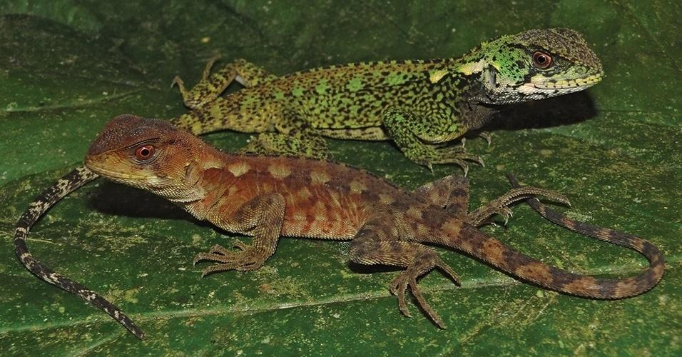 """25.mar.2013 - Cientistas encontraram duas novas espécies de lagartos pertencentes ao gênero """"Enyalioides"""" na região da bacia do rio Huallaga, dentro do Parque Nacional Cordilheira Azul, que integra a floresta Amazônia no nordeste do Peru. Os lagartos da """"Enyalioides azulae"""" - que presta homenagem à reserva onde os répteis foram descobertos - se diferem das outras espécies do gênero por conta dos 'desenhos' nas suas escamas dorsais. Além disso, quando adultos, os machos  ficam com um verde vibrante, enquanto as fêmeas ganham uma cor mais amarronzada"""