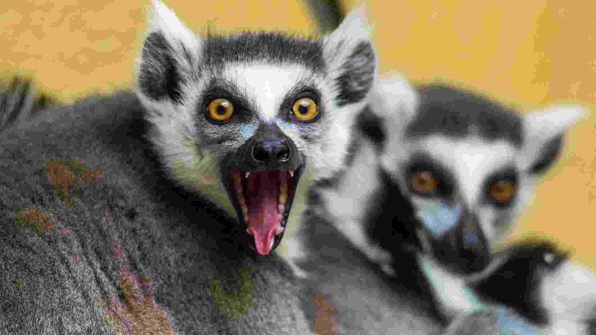 25.mar.2013 - Lêmure do zoológico Tierpark em Straubing, sul da Alemanha, reage à proximidade do fotógrafo. A espécie é comum das regiões áridas do sudoeste de Madagascar - Armin Weigel/AFP