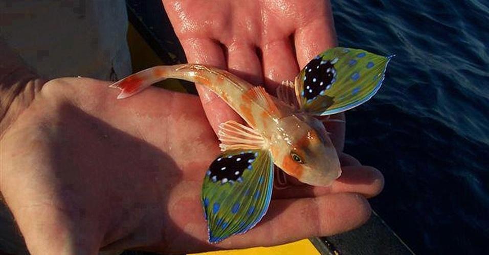 26.mar.2013 - A gurnard borboleta (Lepidotrigla vanessa) é uma espécie de peixe bem diferente que vive no sul da Oceania. Este peixe pode chegar a 28 centímetros e tem grandes barbatanas peitorais que chegam além das pontas das nadadeiras pélvicas. Ele vive no mar, de 10 a 100 metros de profundidade. Possui de 10 a 11 espinhas dorsais, e de 16 a 17 raios moles dorsais, que são independentes do corpo e usados para caminhar