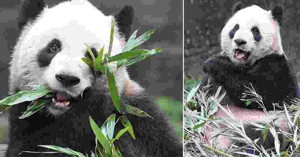 26.mar.2013 - A panda gigante Er Shun, fêmea de 5 anos, foi emprestada pelo governo chinês para o Canadá em um acordo que busca preservar a espécie ameaçada de extinção. As pandas fêmeas têm apenas um ciclo reprodutivo por ano, que geralmente ocorre de março a maio e dura um período de até 72 horas, quando elas atraem os parceiros com sons, cheiros e aromas - isso significa que as fêmeas dessa espécie só ficam receptivas para acasalar, no máximo, três dias por ano - Toronto Zoo/Divulgação