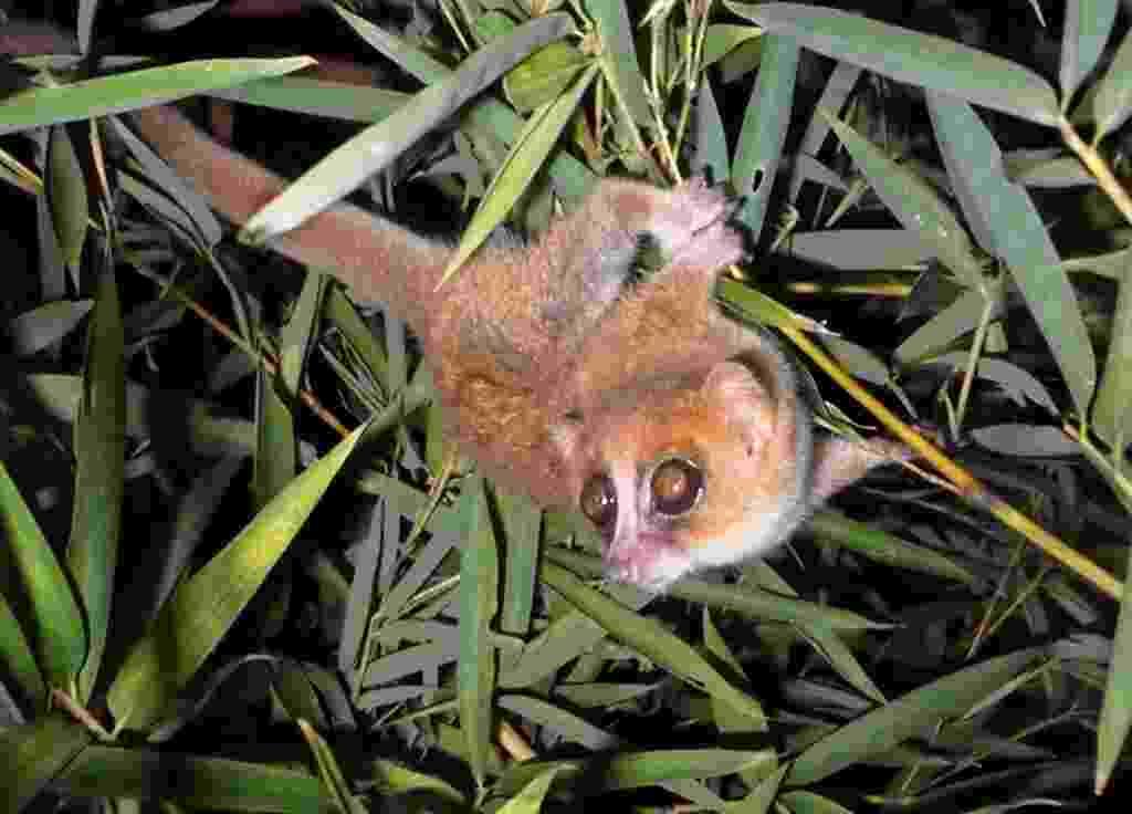 """26.mar.2013 - Biológos do Centro Alemão de Primatas descobriram duas novas espécies de lêmures em Madagascar, após visitas em campo entre 2003 e 2007. Os animais são do gênero """"Microcebus"""", que reúne as menores espécies de primatas do mundo e estão também entre as mais ameaçadas: o """"Microcebus marohita"""" (acima) tem de cauda longa e espessa e pés grandes, enquanto o """"Microcebus tanosi"""" tem uma cabeça grande e vermelha - Bellarmin Ramahefasoa/German Primate Center/AFP"""