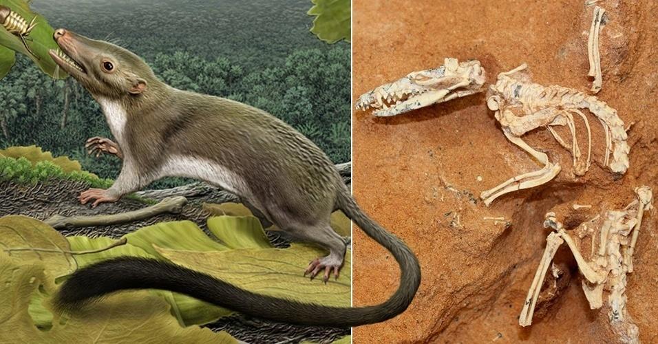 26.mar.2013 - O antecessor comum dos mamíferos placentários, entre eles o ser humano, foi um diminuto insetívoro que se diversificou depois da extinção dos dinossauros há 65 milhões de anos. A equipe de cientistas reconstruiu o aspecto do animal após estudar por seis anos milhares de características morfológicas e genéticas, tanto de mamíferos vivos como fósseis