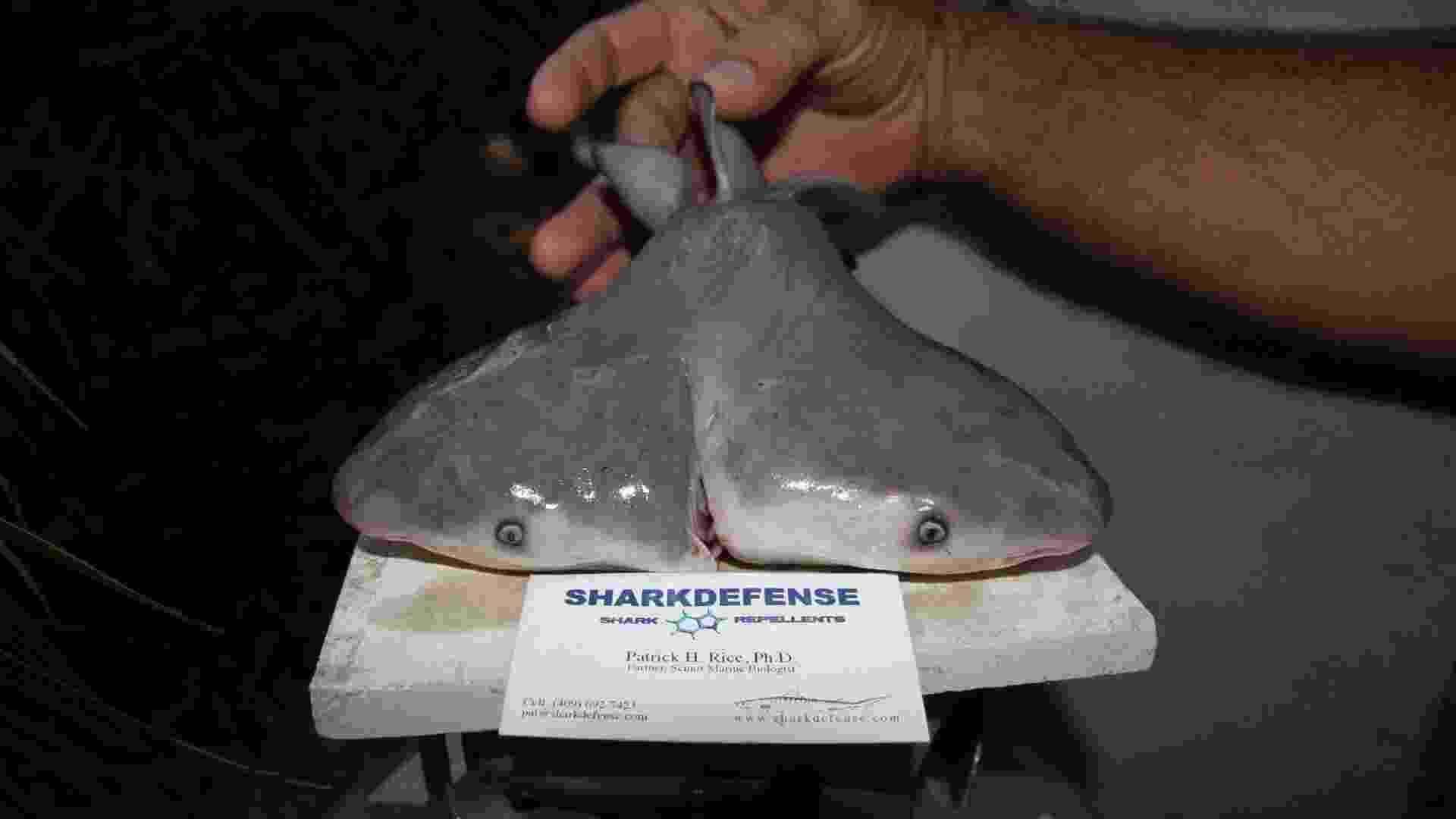 26.mar.2013 -Feto de tubarão touro com duas cabeças descoberto por um pescador no Golfo do México, nos EUA. O descobrimento foi há quase 2 anos, mas só agora a história foi publicada em um jornal, o Journal of Fish Biology, depois que cientistas da Universidade do Estado de Michigan (MSU) estudam o animal - EFE/Patrick Rice/Shark Defense/Florida Keys Community College