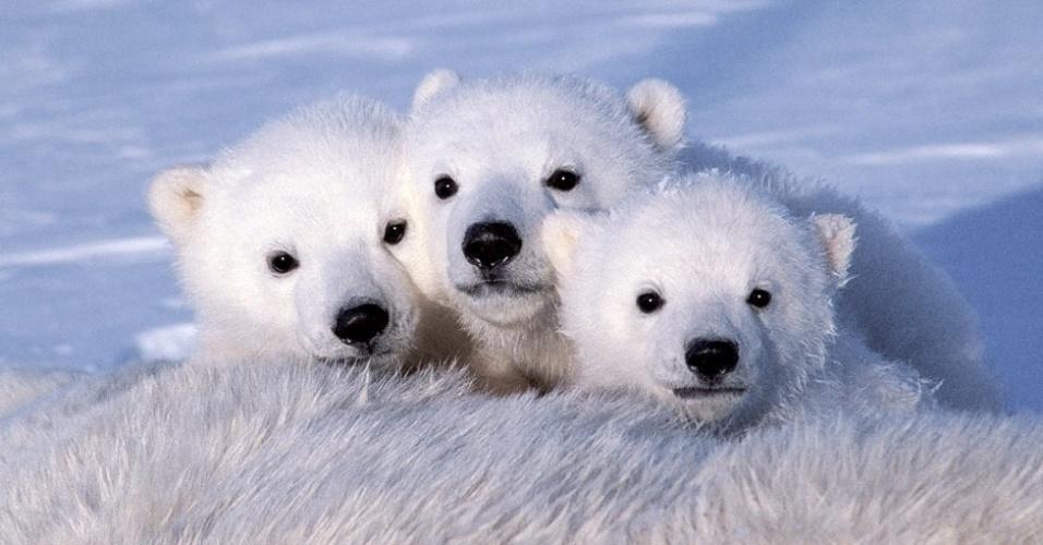 28.mar.2013 - ÁLBUM DA BBC - A sobrevivência dos ursos está ameaçada. A cada verão, o mar de gelo onde eles caçam fica menor devido ao aquecimento global. Acima, três filhotes