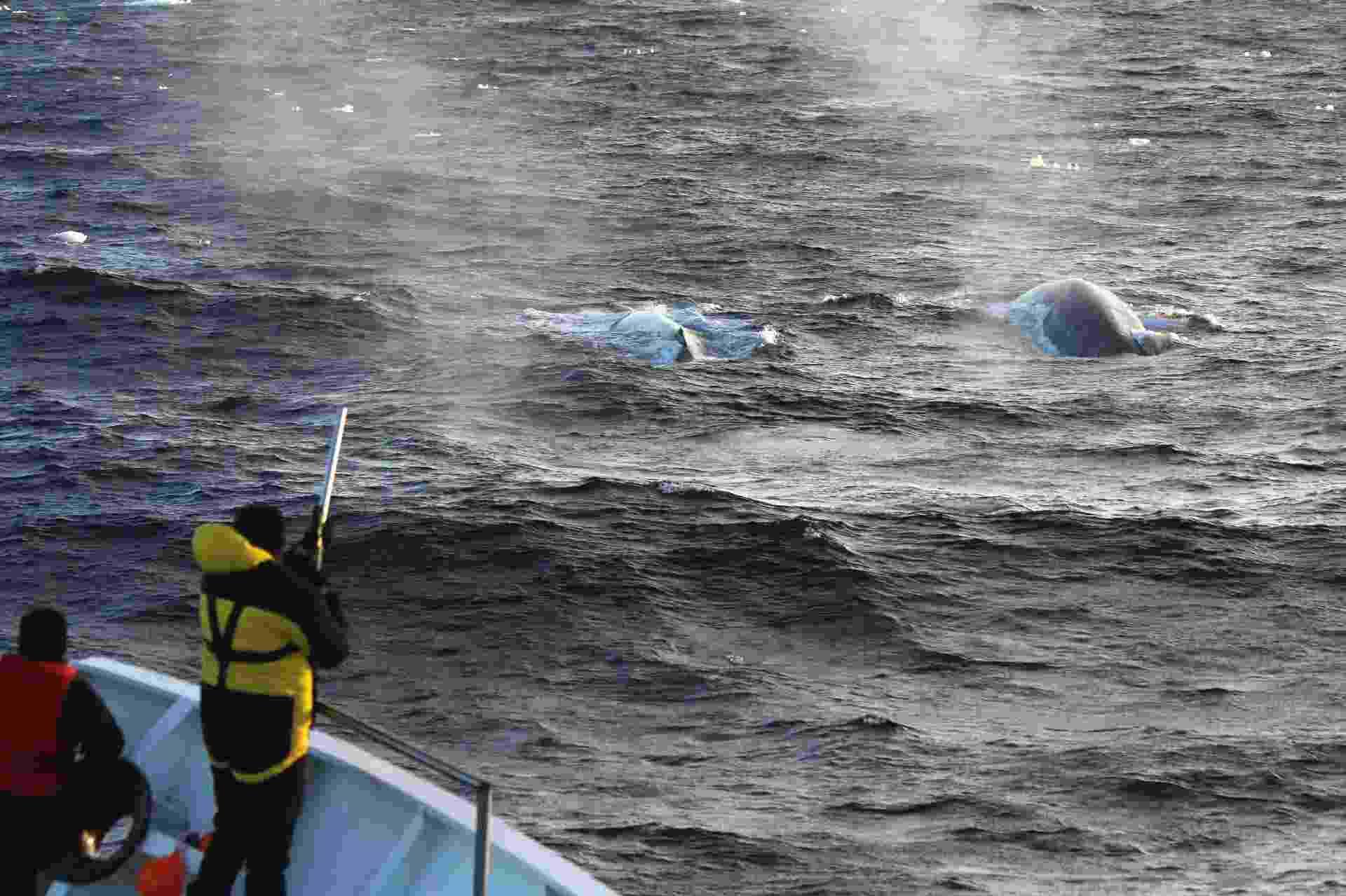 """28.mar.2013 - Cientistas atiram dispositivos de rastreamento via satélite em duas baleias-azuis, que vai permitir colher mais informações do maior animal do mundo, como movimentos velozes durante o verão austral e padrões alimentares no gelo antártico. Além disso, com técnicas acústicas de detecção e acompanhamento, o """"Projeto Baleia-Azul na Antártida"""" captou 26.545 cantos dos cetáceos em 626 horas de gravação, fez 57 fotografias e 23 biópsias durante uma expedição de sete semanas no mar Ross - Australian Antarctic Division/Reuters"""