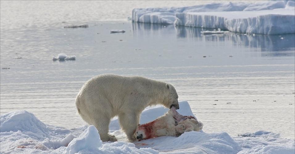 28.mar.2013 - ÁLBUM DA BBC - Em outra ocasião, a fotógrafa observou um outro tipo de busca. 'Este urso adulto matou um filhote para comê-lo, filhotes estão se transformando em uma fonte de alimentos relativamente fácil para machos adultos.' Acima, um urso canibaliza um filhote no Mar de Barents