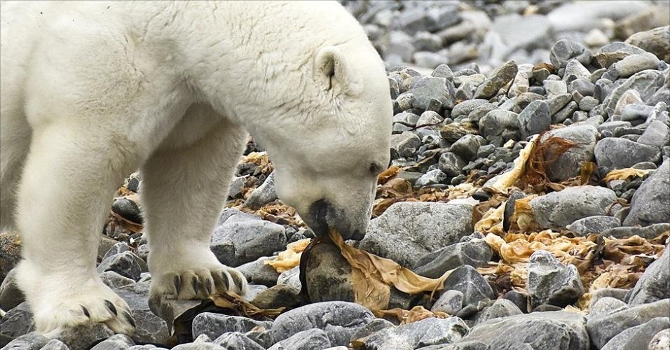 28.mar.2013 - ÁLBUM DA BBC - 'Se você retirar o mar de gelo, você simplesmente não vai ter o mesmo ecossistema', afirmou Derocher. 'Estamos vendo mais provas de (ursos) comendo colônias de aves, comendo algas marinhas e vasculhando qualquer coisa que encontram.' Acima, uma fêmea tenta comer algas marinhas em Svalbard