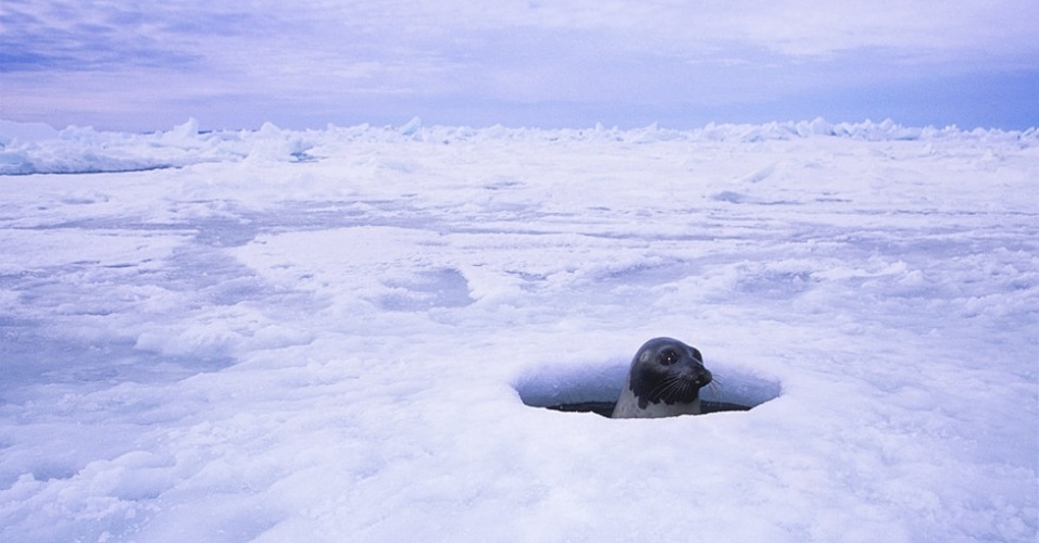 28.mar.2013 - ÁLBUM DA BBC - Usando o olfato para localizar a presa, os ursos adultos passam a maior parte da vida sozinhos, cruzando as grandes distâncias congeladas na busca por presas como focas, morsas e até baleias. Acima, uma foca aparece em um dos buracos no gelo
