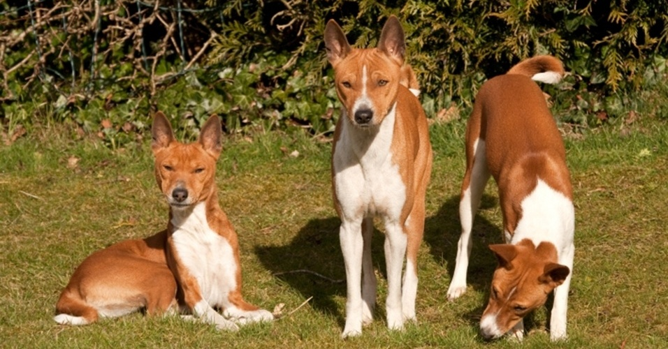 29.mar.2013 - O basenji é uma das raças antigas de cães africanas. Mais próximos geneticamente dos lobos, os animais desse grupo de personalidade forte são, normalmente, os menos fáceis de treinar. Também são apontados como cães mais tímidos e, portanto, também mais calmos