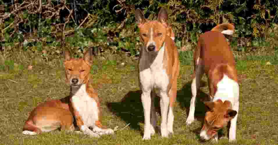 29.mar.2013 - O basenji é uma das raças antigas de cães africanas. Mais próximos geneticamente dos lobos, os animais desse grupo de personalidade forte são, normalmente, os menos fáceis de treinar. Também são apontados como cães mais tímidos e, portanto, também mais calmos - Thinkstock/Getty Images