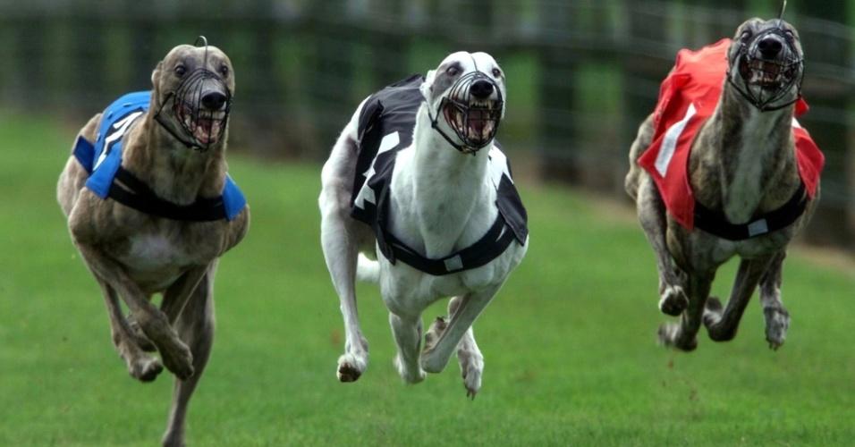 29.mar.2013 - O galgo inglês, um dos mais fáceis de treinar, é lembrado como um famoso cão de corrida para apostas ? que, no entanto, é abandonado quando não corre tanto como antes. Eles são cachorros mais sociáveis, devido a seu histórico de proximidade tanto com animais quanto com humanos