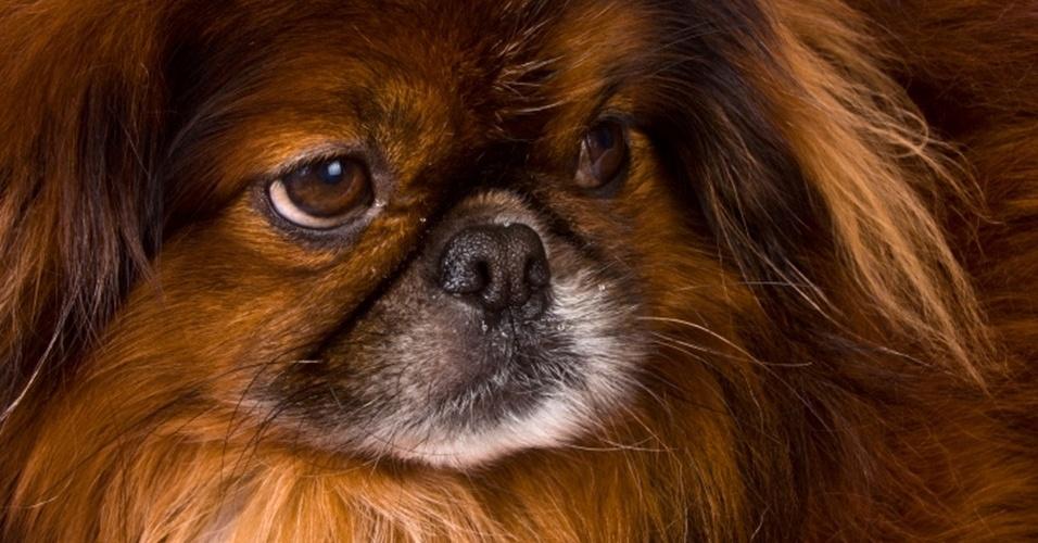 """29.mar.2013 - O pequinês, o """"cão-miniatura"""" da China, tem um jeito independente e é apontado como um dos mais difíceis de treinar. Isso acontece porque os cães de raças antigas asiáticas são os mais próximos geneticamente dos lobos e têm personalidade forte. Os animais desse grupo são tímidos, mas, também, mais calmos"""