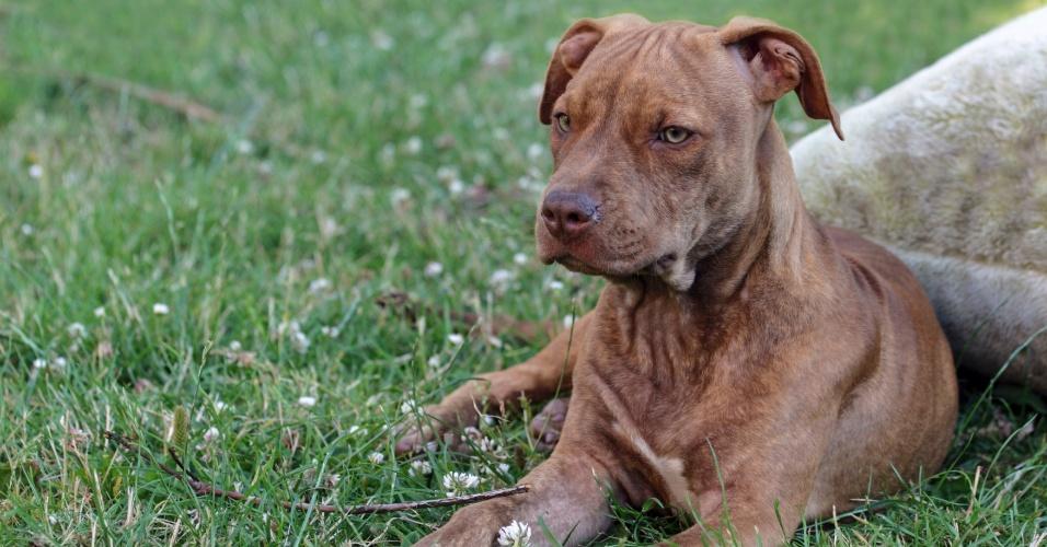 29.mar.2013 - O pitbull é um dos exemplares dos cães de coragem, pois são animais abertos a novas experiências - e, às vezes, até obstinados com alguma coisa. No mesmo grupo, estão os mastiffs, o buldogue e o boxer