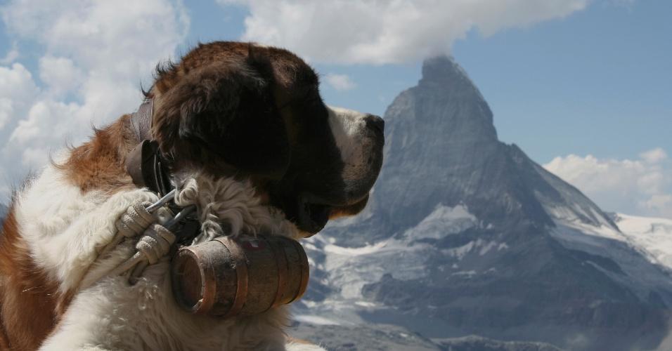 29.mar.2013 - O são bernardo faz parte do grupo dos cães de montanha: cães frequentemente grandes e menos sociáveis ? tanto com pessoas quanto com outros cães. Por seu histórico, têm maior talento com subida e descida de altitudes, entre outras atividades relacionadas