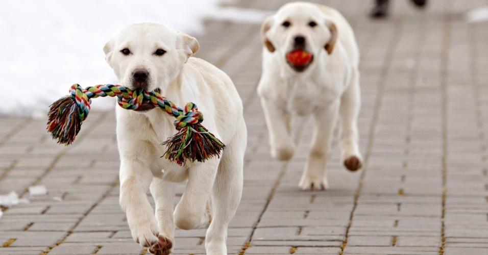 29.mar.2013 - O labrador faz parte do grupo dos cães de caça. Ele tem boa capacidade de visão e está entre as raças com maior facilidade para o treinamento