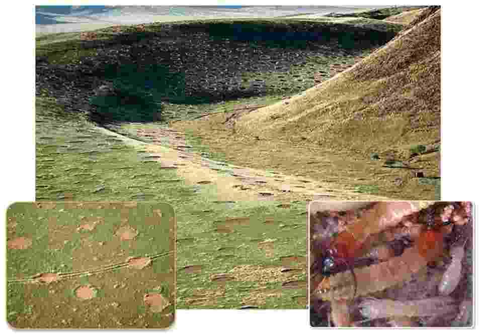 """29.mar.2013 - Os cupins de areia (""""psammotermes"""") são responsáveis pelos misteriosos círculos de grama que aparecem nas pradarias africanas, conhecidos como """"anéis de fadas"""" ou """"cirandas de bruxa"""", segundo o botânico Norbert Juerguens, da Universidade de Hamburgo, na Alemanha. As estranhas formações de 2 a 12 metros de diâmetro têm o centro vazio (detalhe à esquerda), pois os insetos se alimentam de raízes de grama, pastagens e outras plantas que ali estão. A falta de vegetação no interior dos círculos faz com que a água da chuva não evapore e fique no solo arenoso, permitindo a sobrevivência dos cupins (detalhe à direita) - Mike and Ann Scott/Namib Rand Nature Reserve / Norbert Juergens"""