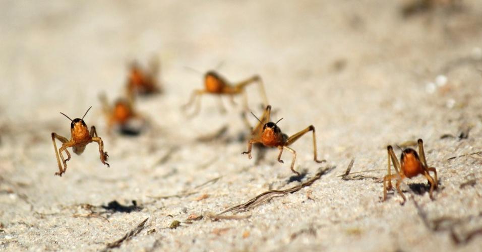 1°.abr.2013 - Em imagem divulgada nesta segunda-feira (1º), gafanhotos são vistos na região de Menabe, em Madagascar. Segundo a FAO (órgão das Nações Unidas para agricultura e alimentação), metade da ilha foi infestada pelo inseto, que está ameaçando a produção de arroz, principal alimento produzido no país