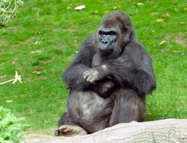 1°.abr.2013 - Pattycake, o primeiro gorila nascido em um zoológico de Nova York, morreu no domingo (31) aos 40 anos, informou a sociedade de conservação da vida silvestre do zoológico do Bronx.O gorila estava sob cuidados médicos devido a sua idade avançada. Ele passava por tratamento de problemas cardíacos crônicos