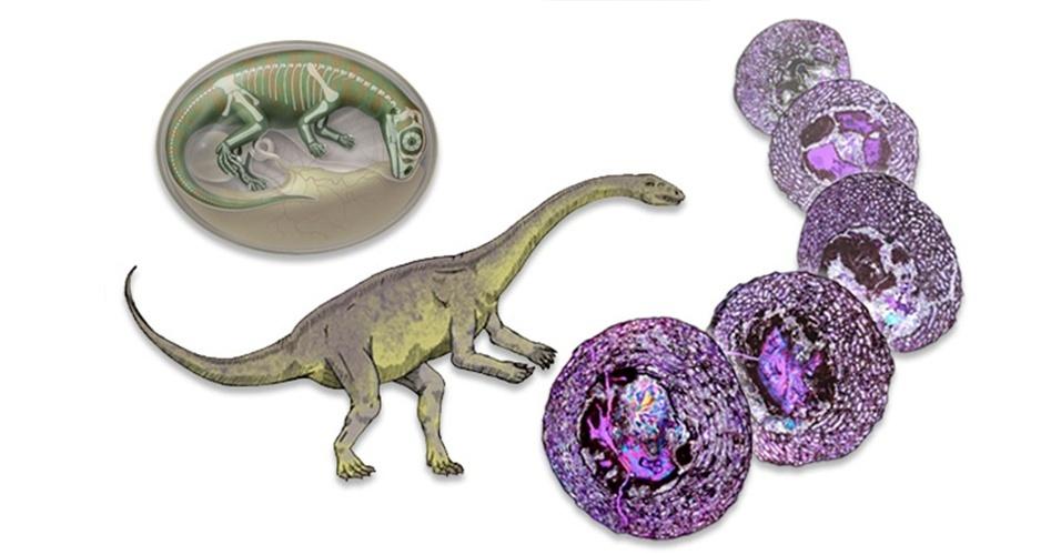 10.abr.2013 - Cientistas descobriram embriões de dinossauro de cerca de 190 milhões de anos em ovos fossilizados em Yunnan, na China. Ao estudar os ossos do fêmur de embriões do Lufengosaurus em diversos estágios de desenvolvimento, os cientistas podem aprender como ele crescia