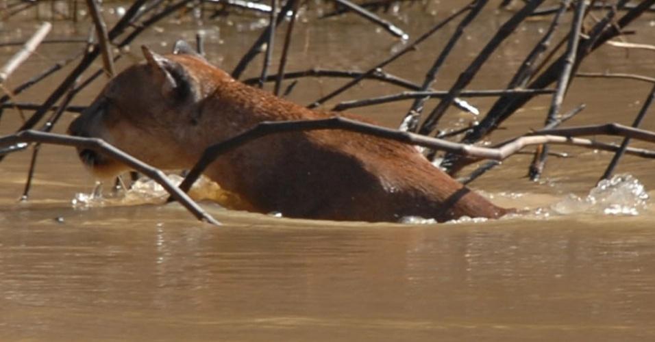 11;abr;2013 -O fotógrafo da prefeitura de Rio Branco, no Acre, fotografou uma onça vermelha, ou suçuarana (Puma concolor), atravessando o Riozinho do Rôla, em Seringal Macapá, na divisa do Amazonas com o Acre. O animal raramente é visto na região e está na lista de animais ameaçados de extinção, em estado pouco preocupante