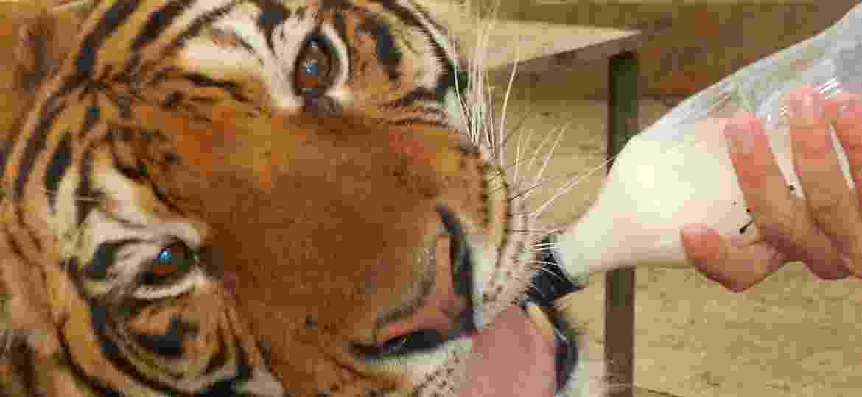 Tirar fotos dentro da jaula dos tigres era uma das atrações do zoo, perto de Buenos Aires: a dopagem dos animais para isso foi uma da práticas denunciadas  - Maria Martha Bruno/UOL