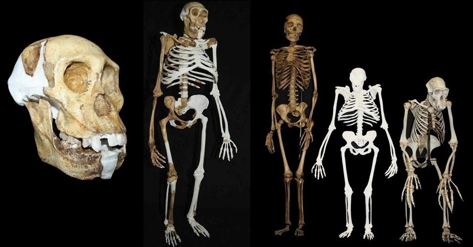 """12.abr.2013 -Composição de imagens mostram como seria o ancestral mais remoto do homem com traços humanos e de chimpanzé. O hominídeo de 2 milhões de anos, chamado de """"Australopithecus sediba"""", teria mãos, dentes e pélvis de um humano e pés de chimpanzé (figura do meio). Ele andaria tanto em árvores quanto reto no chão. O esqueleto foi reconstruído com ossos de três indivíduos da espécie e puderam desvendar mais detalhes de como seria esta espécie descoberta em 2008. À esquerda, reconstrução do crânio e mandíbula da espécie. À direita, uma comparação do esqueleto de uma mulher moderna, do A. sediba e de um macho de um chimpanzé comum, respectivamente. A pesquisa foi publicada na Science"""