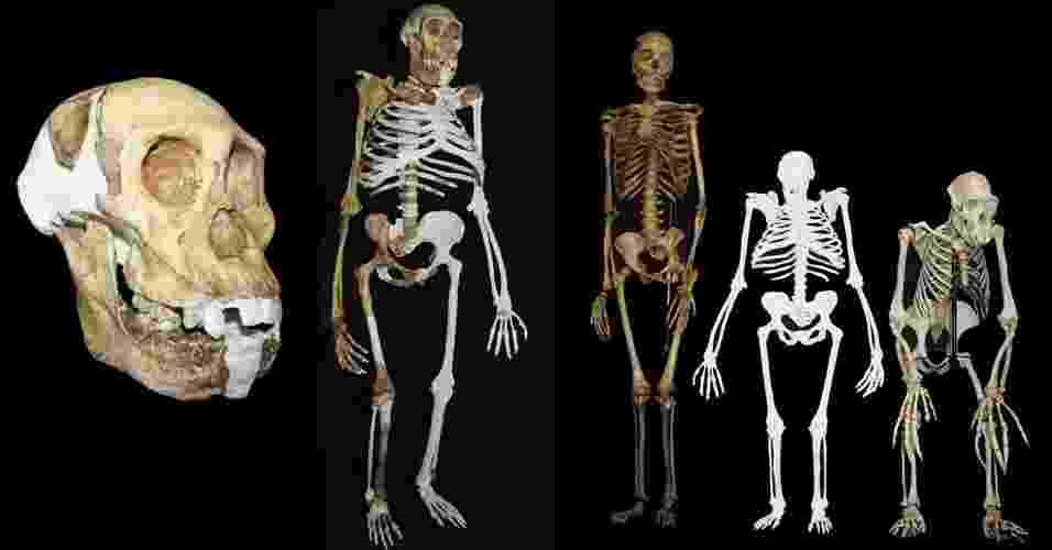 """12.abr.2013 -Composição de imagens mostram como seria o ancestral mais remoto do homem com traços humanos e de chimpanzé. O hominídeo de 2 milhões de anos, chamado de """"Australopithecus sediba"""", teria mãos, dentes e pélvis de um humano e pés de chimpanzé (figura do meio). Ele andaria tanto em árvores quanto reto no chão. O esqueleto foi reconstruído com ossos de três indivíduos da espécie e puderam desvendar mais detalhes de como seria esta espécie descoberta em 2008. À esquerda, reconstrução do crânio e mandíbula da espécie. À direita, uma comparação do esqueleto de uma mulher moderna, do A. sediba e de um macho de um chimpanzé comum, respectivamente. A pesquisa foi publicada na Science - AP; Universidade de Witwatersrand, Lee R. Berger/EFE/ Lee Berger/AFP; Universidade de Witwatersrand, Lee R. Berger/"""