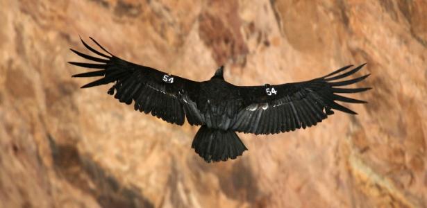 Ecologistas pedem que o uso de munições à base de chumbo seja proibido em áreas públicas dos EUA, para coibir a morte do condor-da-califórnia - David McNew/Getty Images/AFP