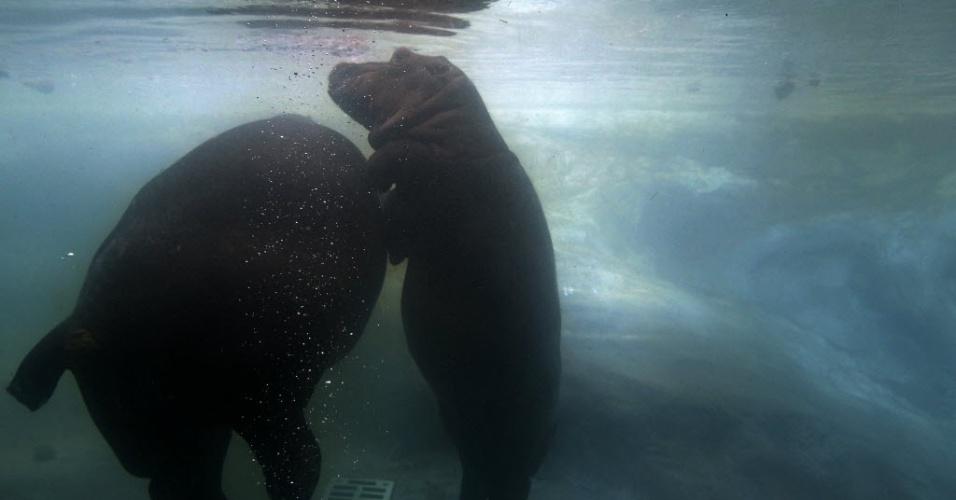 17.abr.2013 - Hipopótamo de dois anos de idade Valecek brinca com a mãe, a hipopótamo Maruska em uma piscina do zoológico de Praga, na República Tcheca