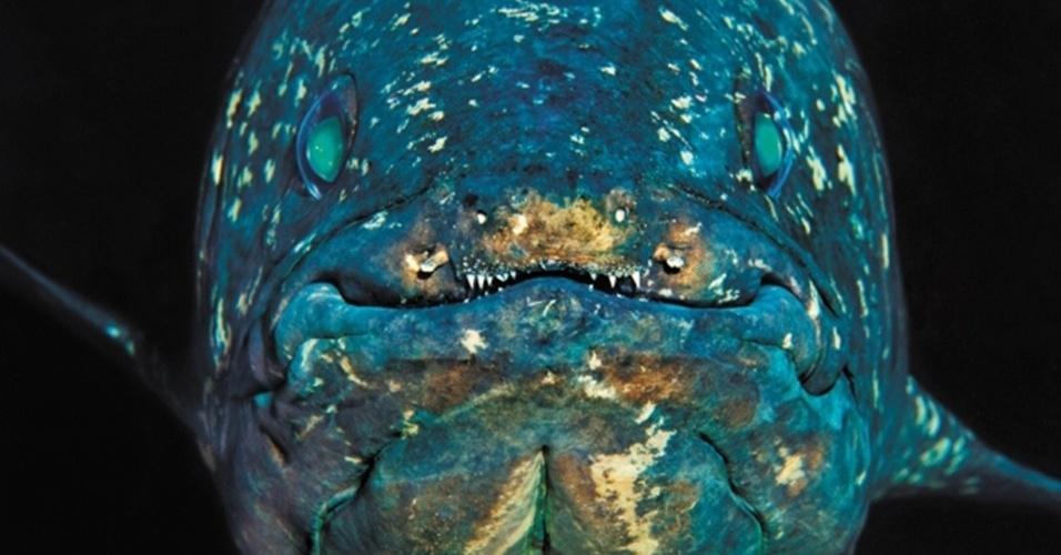 18.abr.2013 - Cientistas conseguiram decodificar o genoma dos celacantos e descobriram que os genes deste peixe pré-histórico evoluem mais lentamente do que os de outros peixes e vertebrados terrestres. Os pesquisadores trabalham com a hipótese de que os celacantos não precisaram evoluir muito, porque eles viviam nas profundezas dos oceanos, onde poucas coisas mudaram em milênios