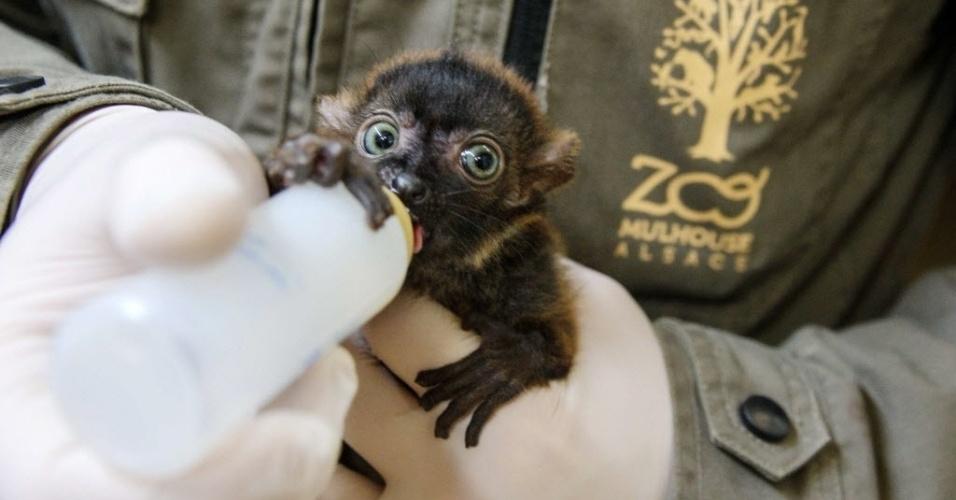 19.abr.2013 - Veterinário do zoológico Mulhouse, na França, dá mamadeira a Dimbi, filhote de lêmure-preto-de-olho azul, nesta sexta-feira (19). Estima-se que só existam mais dois mil animais da espécie, que está ameaçada de extinção, na natureza