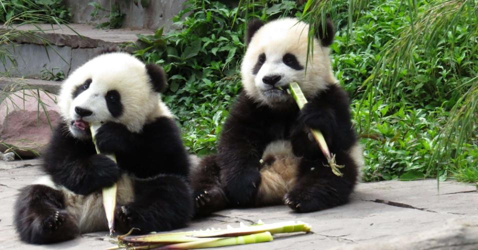 20.abr.2013 - Pandas se alimentam de bambus na Base de Conservação e Pesquisa de Bifengxia, na cidade de Yaan, no sudoeste chinês, atingida pelo terremoto de magnitude 6,6 que matou mais de cem pessoas e feriu ao menos 3.000. Cerca de 60 animais da espécie que vivem na área ficaram abalados com o tremor e estão sendo observados por tratadores