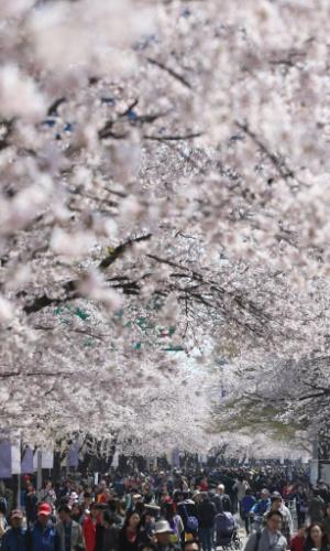 21.abr.2013 - Sul-coreanos se reúnem para admirar cerejeiras floridas em rua de Seul