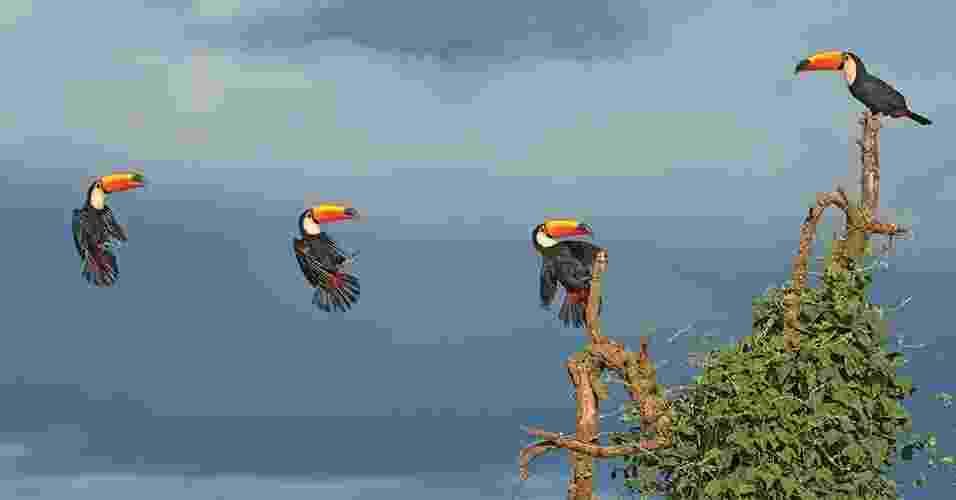 23.abr.2013 - Os tucanos são, junto com as araras e papagaios, um dos símbolos mais marcantes das aves do continente sul-americano. O tucanuçu é o maior deles, vivendo em todo o Brasil central e partes da Amazônia. No Pantanal está a sua maior população, podendo ser encontrado até no interior das cidades, em rápidas visitas a pomares e árvores com frutos. O livro ?Nossas Aves, um voo no imaginário popular? traz imagens inéditas de aves em movimento, em pleno voo - Lester Scalon/Nossas Aves, um voo no imaginário popular