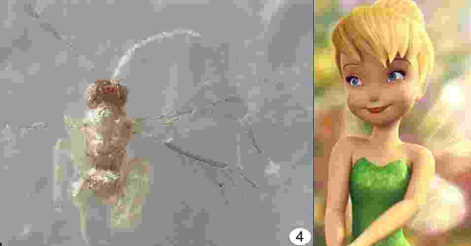 """25.abr.2013 - Uma nova e minúscula espécie de inseto ganhou o nome da fada Sininho (Tinker Bell, em inglês), do livro """"Peter Pan"""", de J.M. Barrie. Como ela mede apenas 0,25 milímetro de comprimento, foi só com a ajuda do microscópio que o grupo liderado por John T. Huber descobriu os detalhes delicados das asas da """"Tinkerbella nana"""" - elas são tão finas que parecem ser uma franja, destaca o artigo no """"Journal of Hymenopteraela"""". A espécie, que parasita os ovos de outros insetos, foi descoberta em uma reserva florestal da Costa Rica - Journal of Hymenopteraela/John T. Huber"""