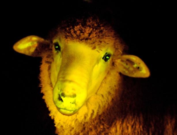 Quer um abajur vivo? Foto divulgada pelo Instituto de Reprodução Animal do Uruguai (IRAUy) apresenta ovelhas transgênicas que incorporaram um gene que faz com que emitam uma luz ultravioleta. De acordo com o instituto, é a primeira vez que esse tipo de ovelhas é reproduzida na América Latina
