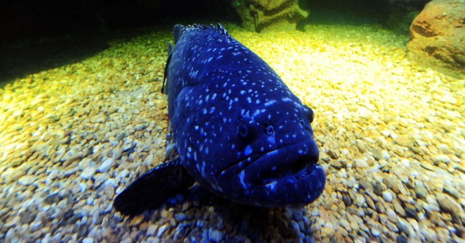 """26.abr.2013 - A garoupa coral (Plectropomus pessuliferus marisrubri), um peixe predador que vive em recifes tropicais, usa linguagem de sinais para indicar para companheiros onde estão escondidas as presas. É a primeira vez que registram a existência de """"gestos referenciais"""", ou sinais específicos em peixes. O artigo publicado na revista Nature Communications diz que o peixe treme ou inclina a cabeça em direção do local onde a presa foi vista pela última vez"""