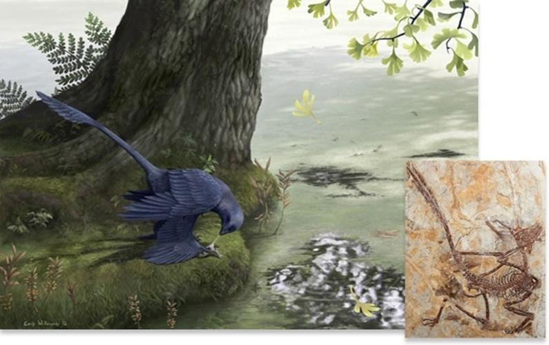 29.abr.2013 - Antigo dinossauro que se parecia com aves comia peixes, indica pesquisa publicada na revista Evolution. Um fóssil recém-descoberto (detalhe) de um dinossauro com penas do Cretáceo conhecido como Microraptor (na impressão artística), encontrado no nordeste da China, estava acompanhado por ossos de peixes. Os cientistas acreditam que estes peixes estavam no intestino do dinossauro quando morreu. Estudos anteriores sugeriram que o dinossauro do tamanho de um falcão, que viveu há cerca de 120 milhões de anos, era capaz de fazer voos curtos e controlados, com suas quatro asas. Além dos ossos, os dentes do dinossauro tinham uma posição angulada, adaptação correspondente às encontradas em outros comedores de peixes. Ele também comeria pequenas aves e mamíferos, o que faz com que sua alimentação flexível seja um destaque que pode explicar porque sua família, os