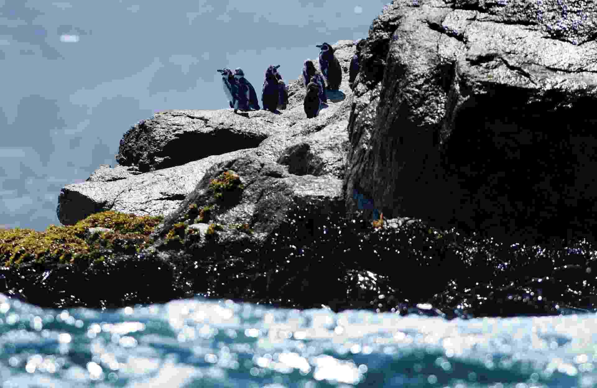 """30.abr.2013 - Pinguins de Humboldt tomam sol na ilha Pájaro Niño, que fica na costa central do Chile. A espécie que só se aninha no Chile e no Peru corre risco de desaparecer da natureza por conta da ação humana, do fenômeno El Niño e até dos ratos, denunciam ecologistas locais. Os pinguins de Humboldt não superam os 50.000 exemplares atualmente e são classificados na categoria de conservação """"vulnerável"""" no Chile, enquanto no Peru estão em """"perigo de extinção"""" - Claudio Santana/AFP"""