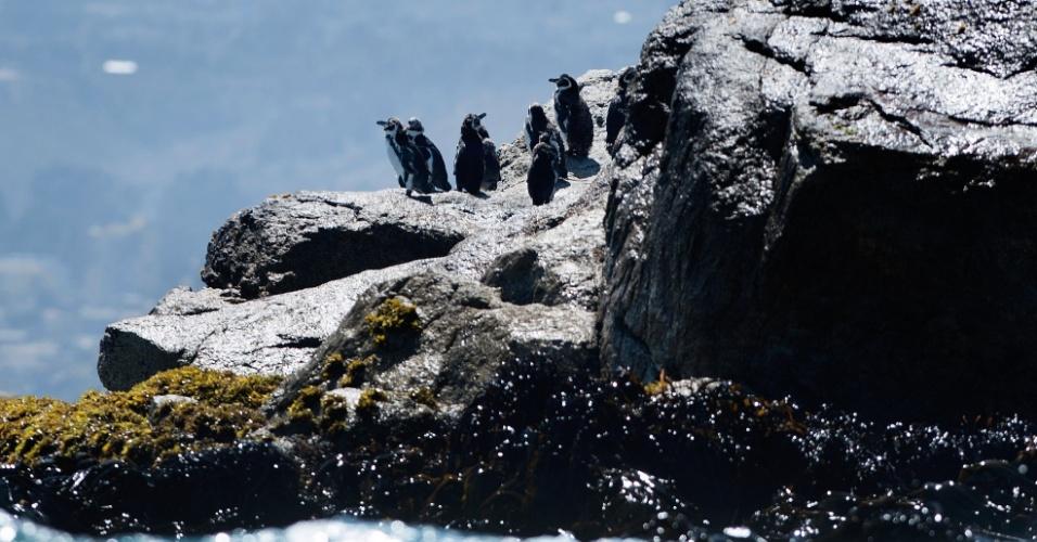 """30.abr.2013 - Pinguins de Humboldt tomam sol na ilha Pájaro Niño, que fica na costa central do Chile. A espécie que só se aninha no Chile e no Peru corre risco de desaparecer da natureza por conta da ação humana, do fenômeno El Niño e até dos ratos, denunciam ecologistas locais. Os pinguins de Humboldt não superam os 50.000 exemplares atualmente e são classificados na categoria de conservação """"vulnerável"""" no Chile, enquanto no Peru estão em """"perigo de extinção"""""""